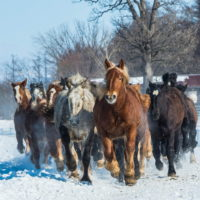 音更・十勝牧場で冬の風物詩「馬追い運動」を見学。