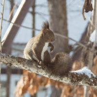 雪のち晴れ・・木の枝で毛づくろいのエゾリス君