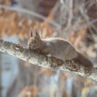 """穏やかな春の陽気に""""エゾリス君""""木の枝で・・つかの間の幸せ?"""