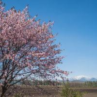 「村道沿いの一本桜」と「桜六花公園」村の桜が見頃です!