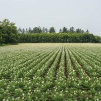 国道沿いのジャガイモ畑・・一面の白い花が見事です。