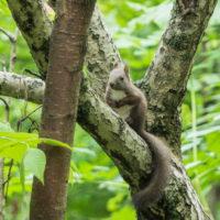 すっかり夏毛になったエゾリス君~台風の木で遊ぶ~