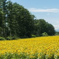 北海道らしい夏に・・カラマツ防風林沿いの「ひまわり畑」