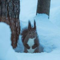 顔を雪まみれにしながら・・ひまわりの種を探すエゾリス君。