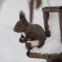 雪降る中やって来たエゾリス君「ひまわりの種見つけたぞ~」