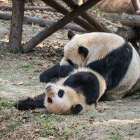 2018重慶・成都・パンダvol.4~成都大熊猫繁育研究基地へ直行~