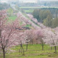 十勝の桜名所「桜六花公園」のサクラが満開になりました。