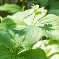 不思議な奇形のオオバナノエンレイソウ・・今年も遅れて咲きました。