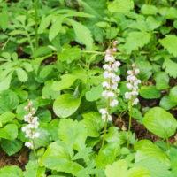 庭に自生している「ベニバナイチヤクソウ」が咲き始めました。