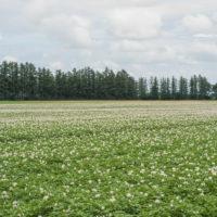 十勝の夏の農村風景~ジャガイモの花と黄金色の小麦畑~