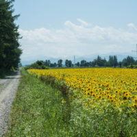 国道236号沿い、昨年と同じ場所にひまわり畑出現!