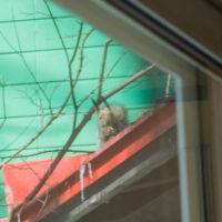 春の陽気に・・エゾリス君が屋根からカフェ覗く。