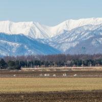 """3月下旬、すっかり雪が無くなってしまった畑に""""白鳥""""が・・"""