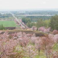 十勝の桜名所になった「桜六花公園」満開でした!