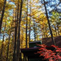 ここは森が輝く絶景スポット・・カラマツの紅葉が見頃となって来ました。