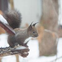 大晦日、季節外れの雨でエゾリス君の耳毛が凍ってる?