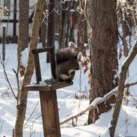エゾリス君が雪と戯れる・・穏やかな冬の一日。