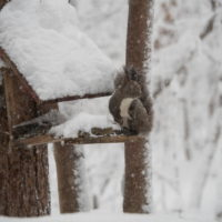 久しぶりの大雪に見舞われています。そんな中でもエゾリス君!