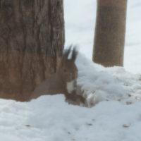 雪どけが進む3月後半・・シメの大群が去ってからエゾリス君