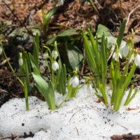 春を告げる花・スノードロップが雪の中から開花しました。