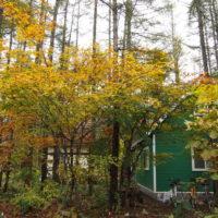 紅葉見頃、カラマツも色づき・・11月は農村風景のクライマックスです。