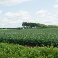 久し振りの晴れ間・・ジャガイモ畑は花畑になって来ましたね!