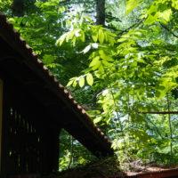 """ど根性""""オニグルミ""""・・屋根の上で成長しています。"""