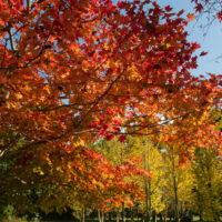 紅葉が十勝平野にも・・「美術村庭園」のモミジも見事です!