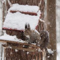 激しい雪の中やって来たエゾリス君は雪まみれ!