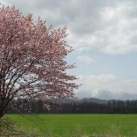 5月の中札内村・桜のある風景を散策してみました。